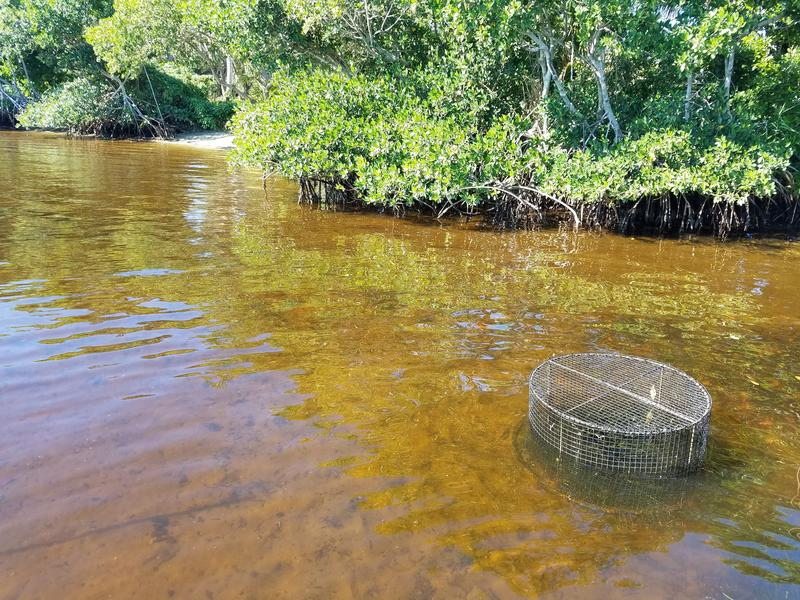 The riverbed of the Caloosahatchee River is bare around the planted seagrass growing underneath the cage.