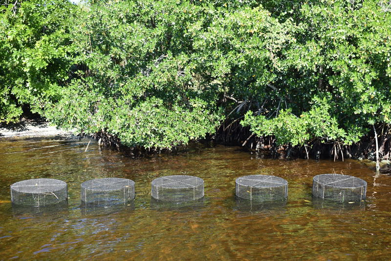 "Five ""herbivore exclusion cages"" rest over planted seagrass to protect seedlings from being grazed before becoming established."