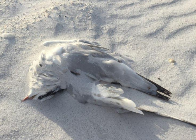 A dead tern on a beach in Marco Island on Dec. 14, 2018