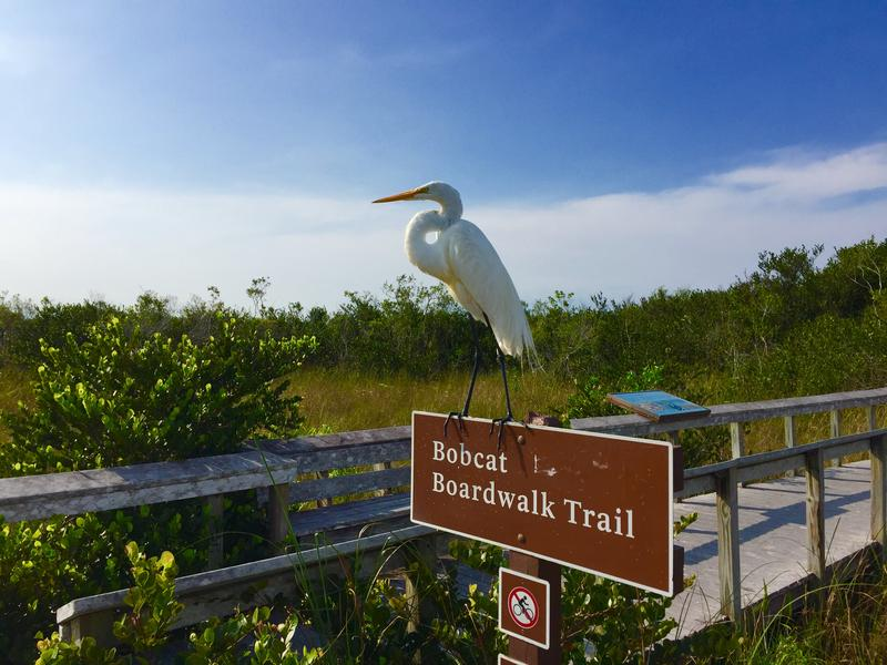 A Great Egret stands on top of the Bobcat Boardwalk Trail in Shark Valley, which is a part of Everglades National Park.