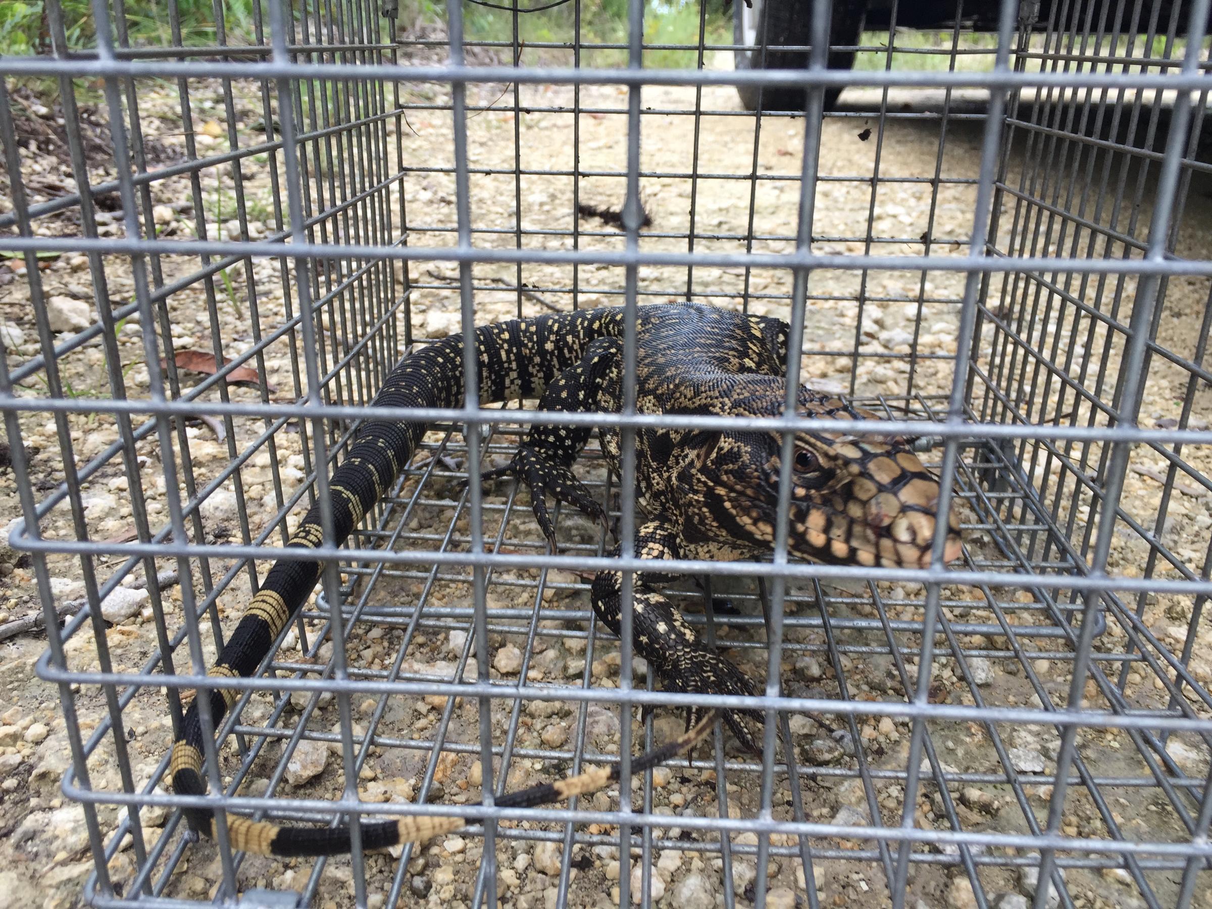 biologists remove invasive tegu lizard threatening florida s