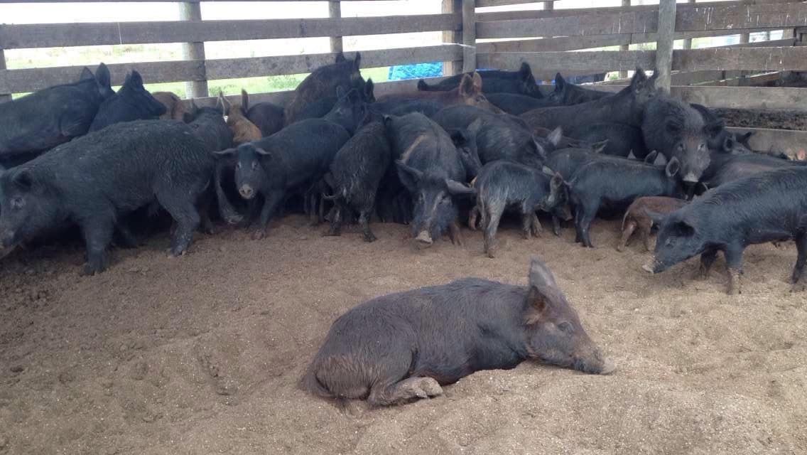 floridians turn nuisance pigs into profitable pork wgcu news