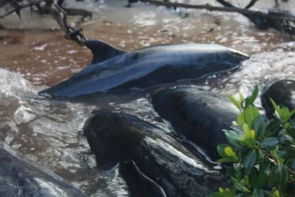 Unprecedented Beaching Kills More Than 80 False Killer Whales Off