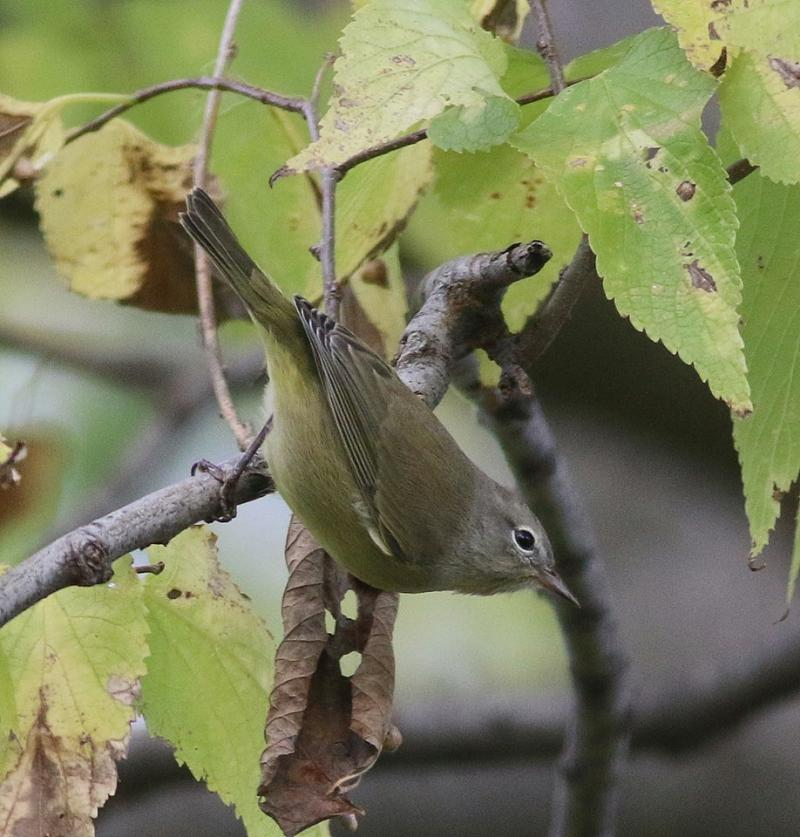 Orange-crowned warbler in autumn