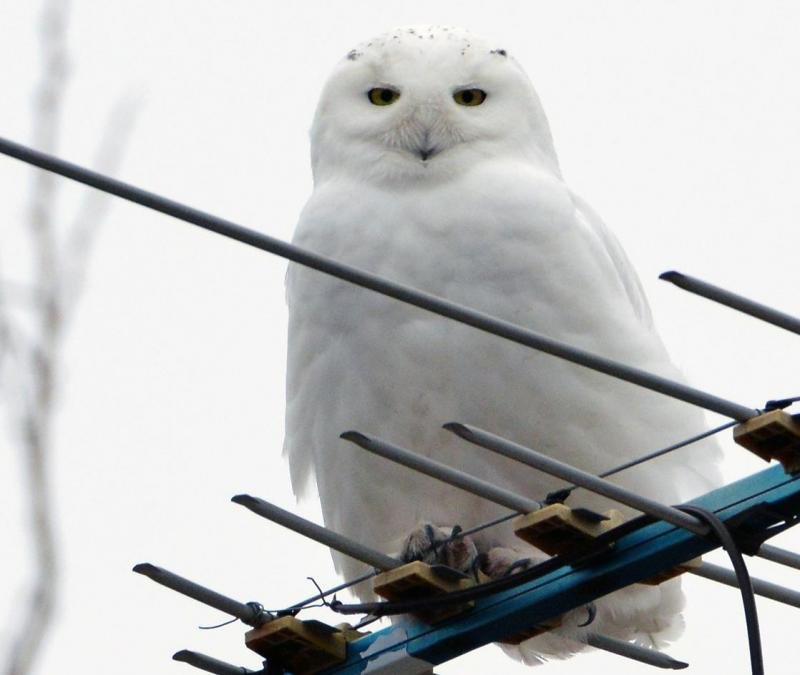 Snowy owl perches on a TV antenna near Westin, IL.