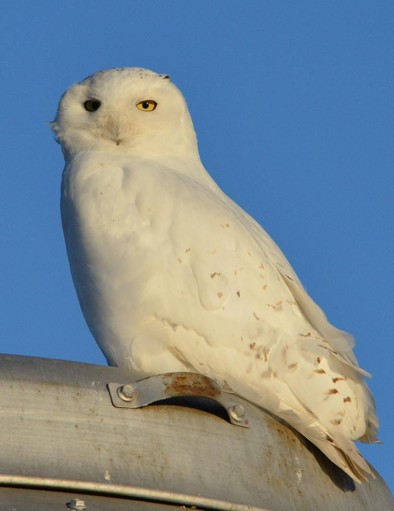 This snowy owl was spotted in McLean County in early February..