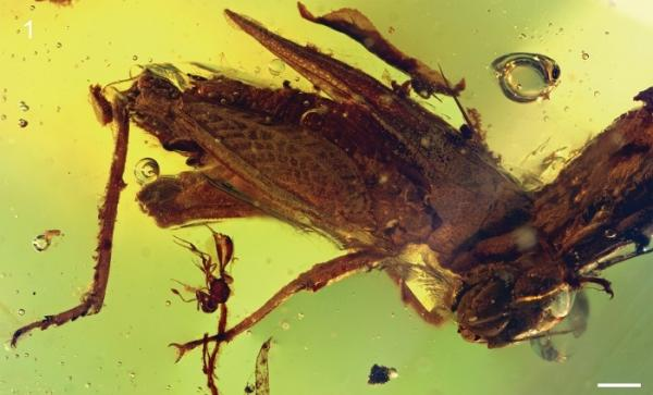 Electrotettix attenboroughi species discovered in amber fossil.