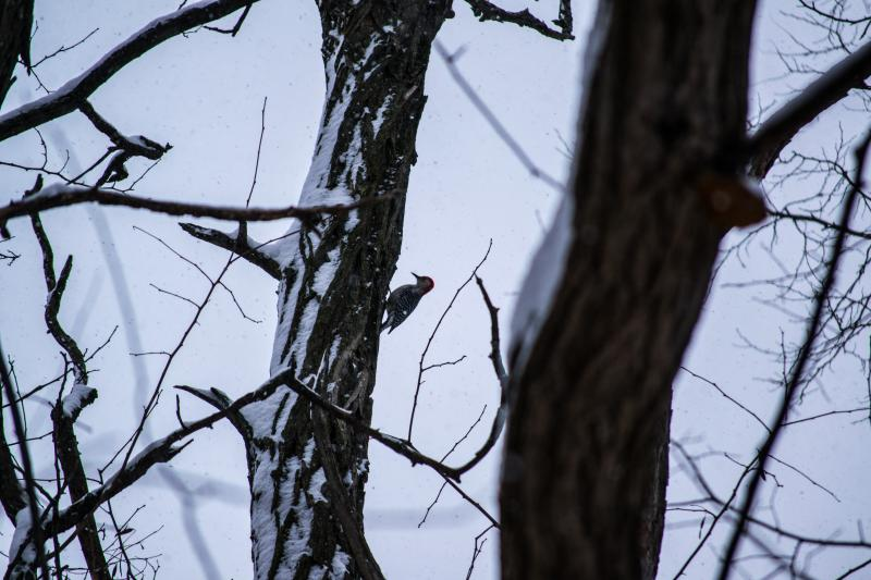 What appears to be a Ladderback Woodpecker clinging to a tree.