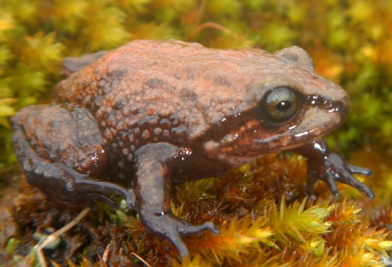 IWU Biologist Edgar Lehr said a gene study of Attenborough's Rubber Frog suggests that it is different from other similarly shaped frogs in the Andes Mountains, which suggest convergent evolution.