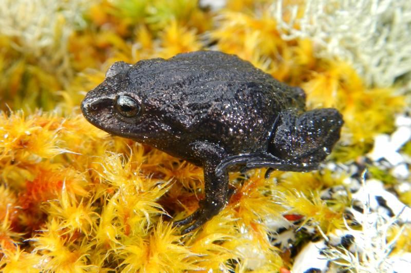 Attenborough's Rubber Frog is in the genus Pristimantis.