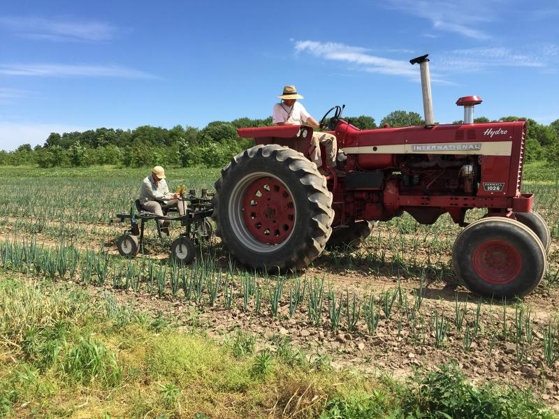 Weeding onions at Prairierth Farm. The vintage tractor is pulling an Eco-Weeder.