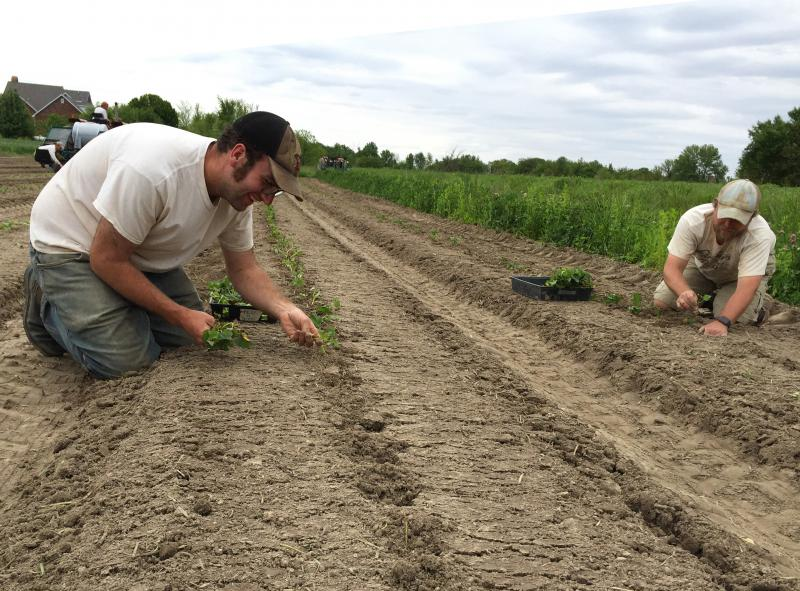 Hans Bishop, right, with PrairiErth Farm wholesale supervisor John Williams, left, planting peppers at PrairiErth Farm near Atlanta, Illinois.