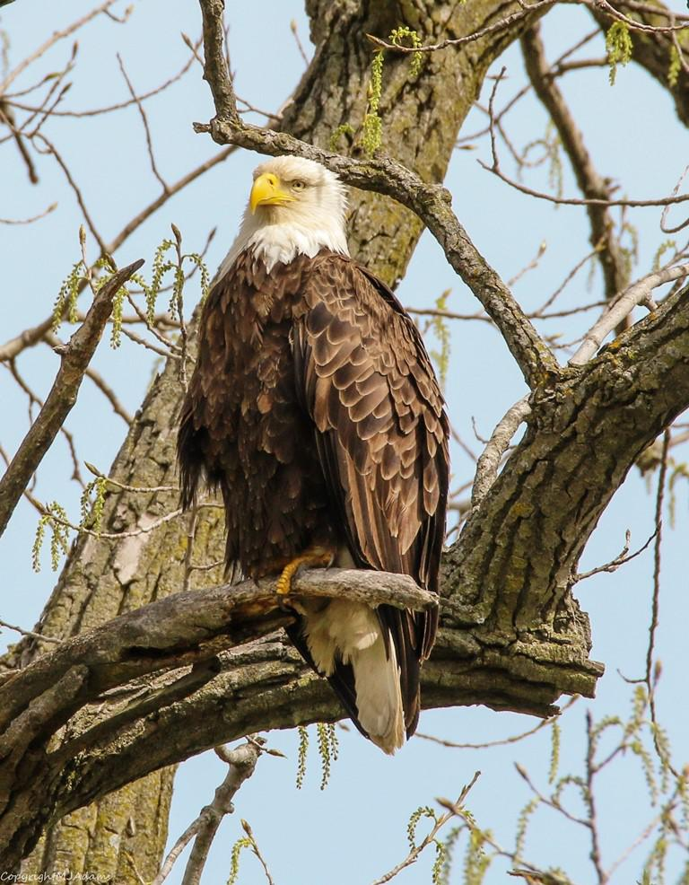 The female eagle is larger than her male mate. Mary Jo Adams named this eagle Bea.