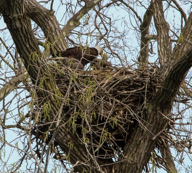 It's feeding time in the nest. Eaglets feed on fish brought to them from the Mackinaw by their parents.