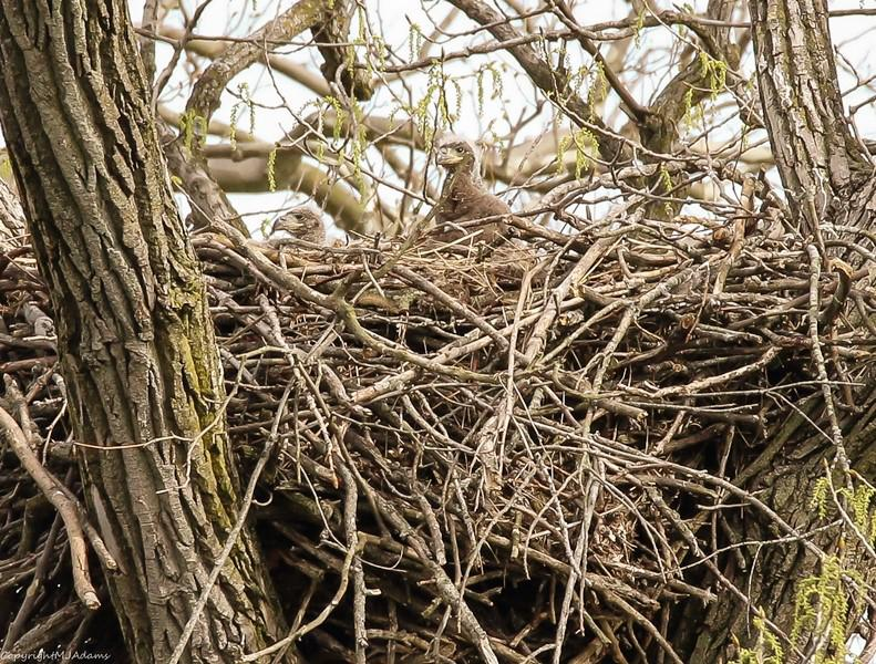 Sibling eaglets peer over their nest along the Mackinaw.