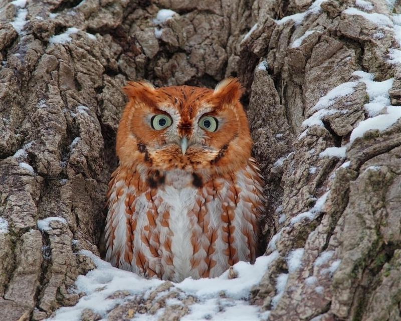 Easter screech owl.