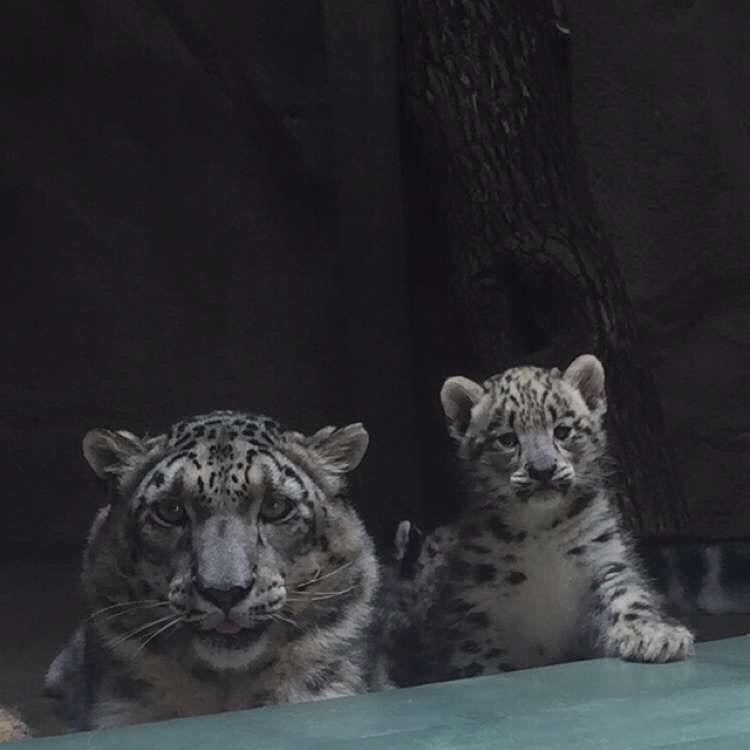 A snow leopard cub born at Miller Park Zoo and mother. These leopards are native to central Asia.