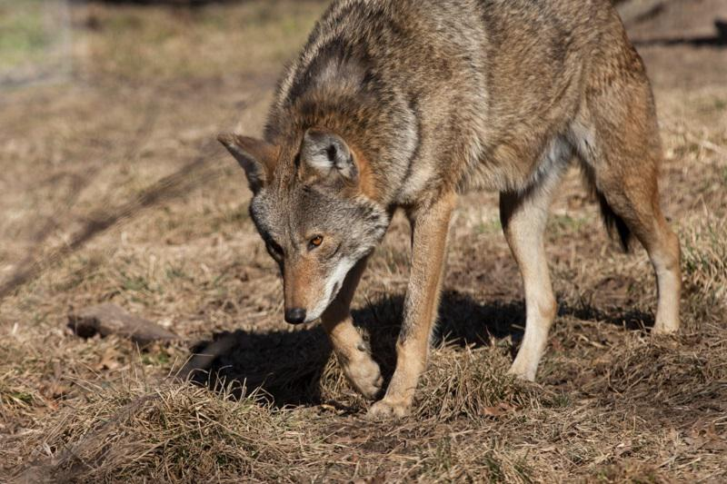 The red wolf is one of the endangered species Miller Park Zoo's species survival program is attempting to help. There are only about 100 living in the wild.
