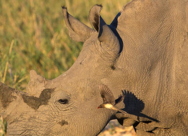 Rhinoceros and its flying red-billed oxpecker friend in South Africa.