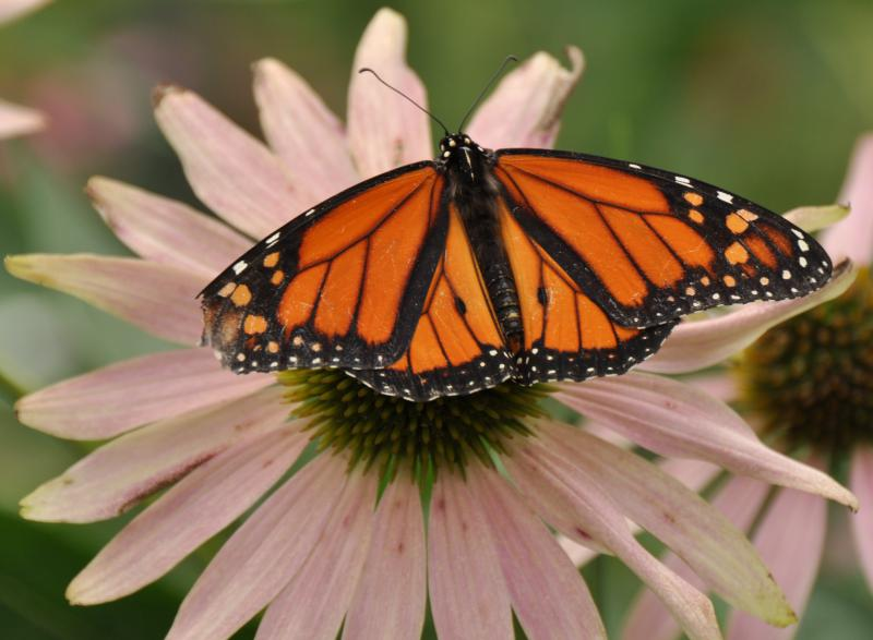 Many of the butterflies to be released at the event are the much-loved Monarch.
