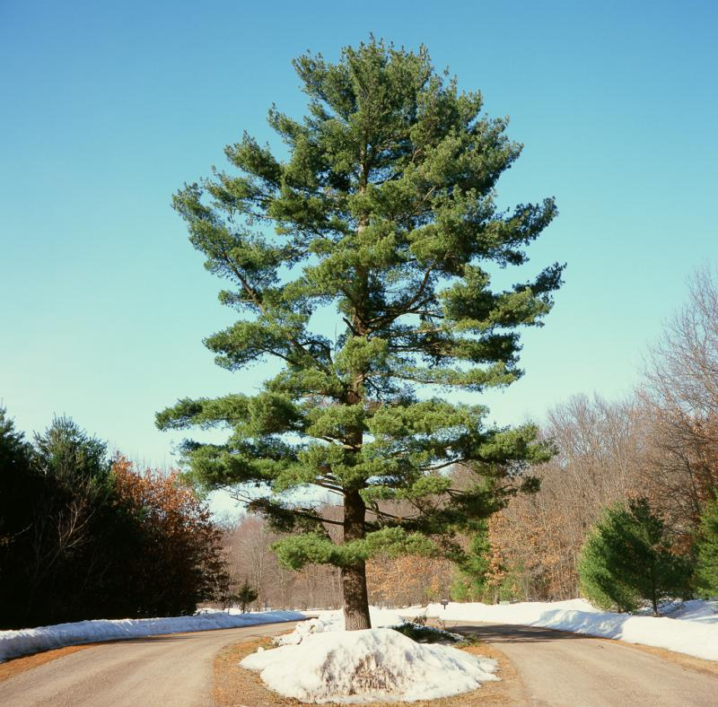 The lovely white pine is susceptible to a number of diseases.