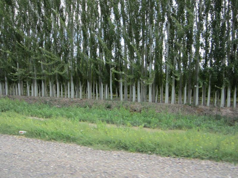 This wind screen comprised of the same species of trees isn't such a good idea. Listen to GLT's Grow to find out why.