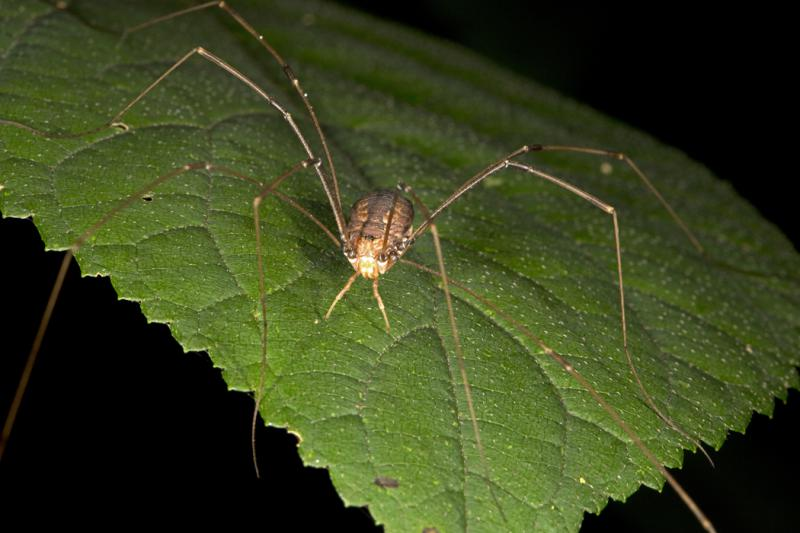 Spiders are among the most visible insects at night in the woods. This is the common Daddy longlegs.