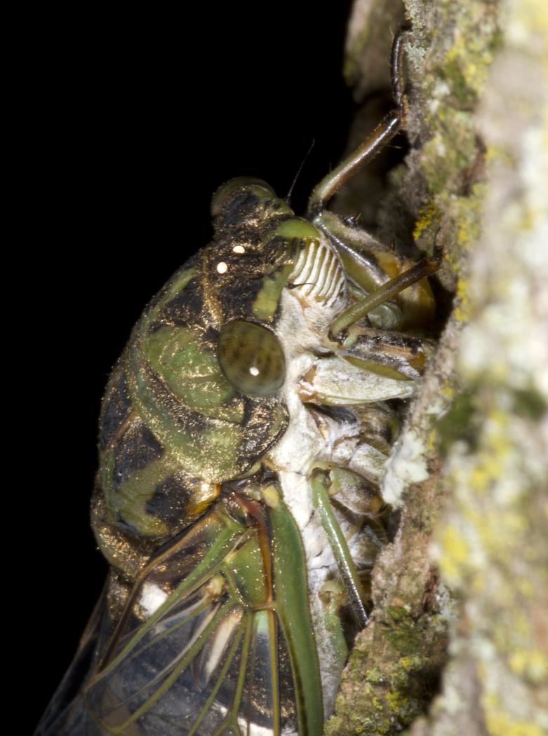 A baby cicada spotted on a trail in Fugate Woods. Entomologist Michael Jeffords said it  had likely just emerged from its shell.