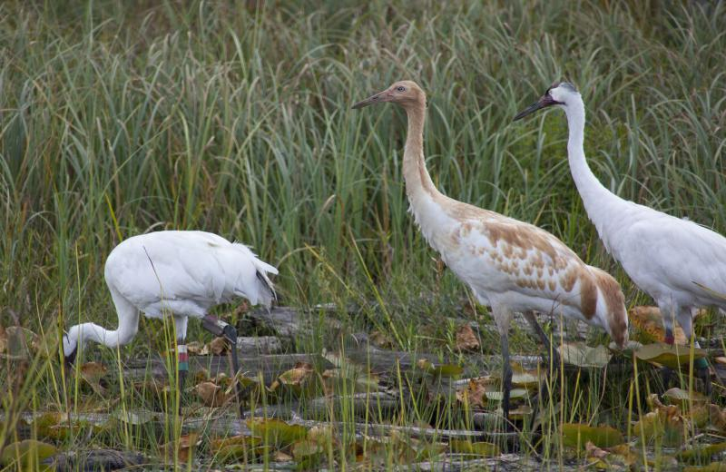 Two white adult whooping cranes, with a juvenile in the center, searching for food in a grassland area. They enjoy corn kernels and invertebrates.