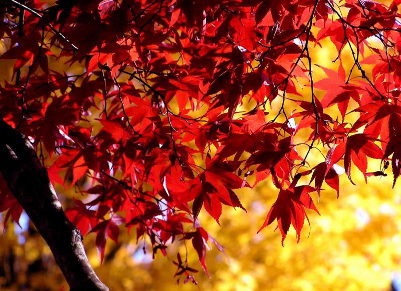 Proper weather conditions produce dazzling fall color.