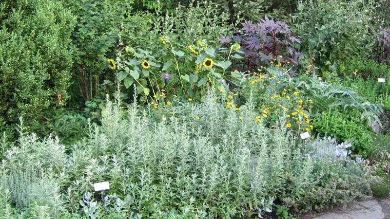 Plants like castor bbenas, herbs and chrysanthemum work well together in edible landscapes