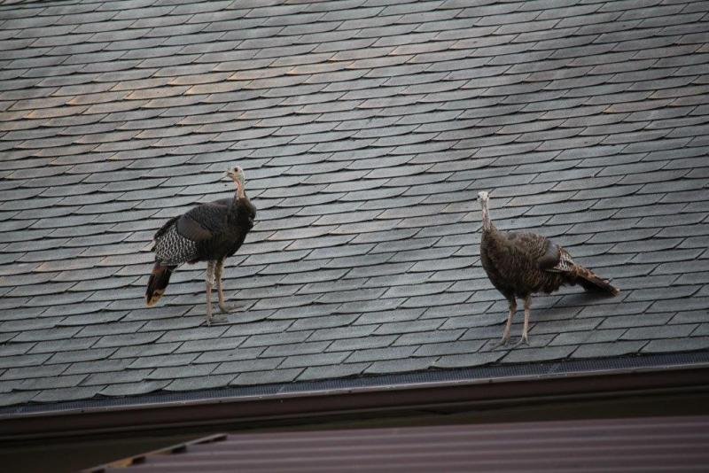 A pair of turkeys enjoy a birds-eye view from a roof Sept. 28 in the Raab/North Linden area in Normal.