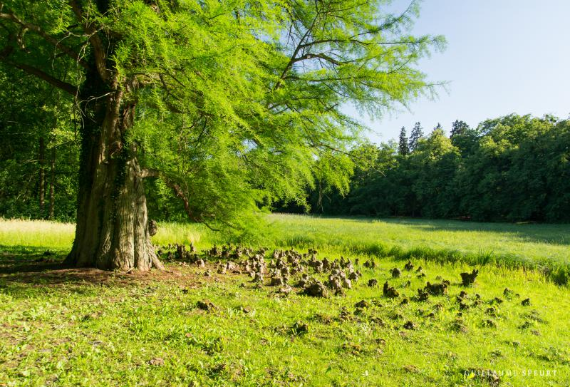 The bald cypress is a diciduous conifer that is appealing in the landscape.