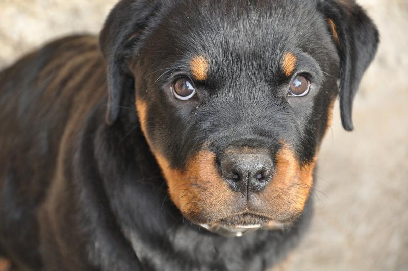 An unvaccinated puppy is vulnerable to the deadly parvovirus.