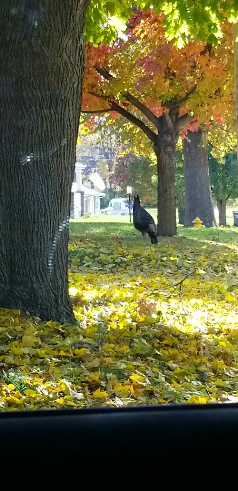 A turkey enjoys the fall leaves Friday afternoon on Colton Avenue in Bloomington.