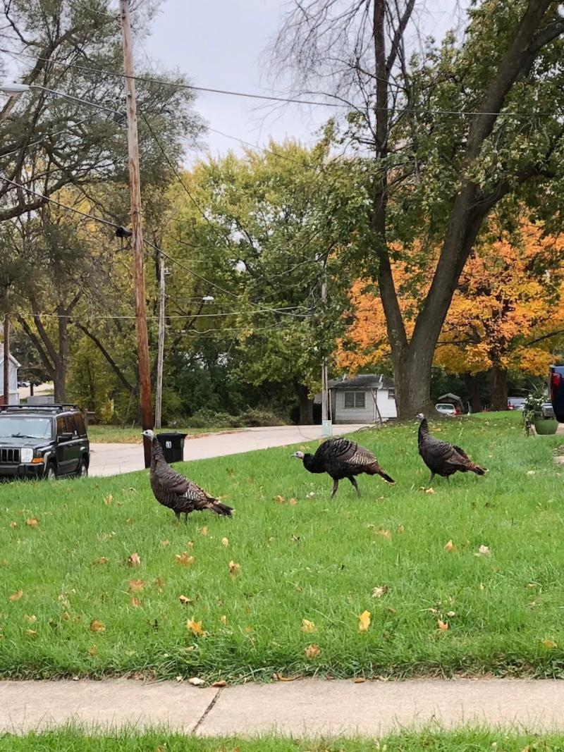 Three wild turkeys were perusing around Irving and Oak Street in Normal last weekend.