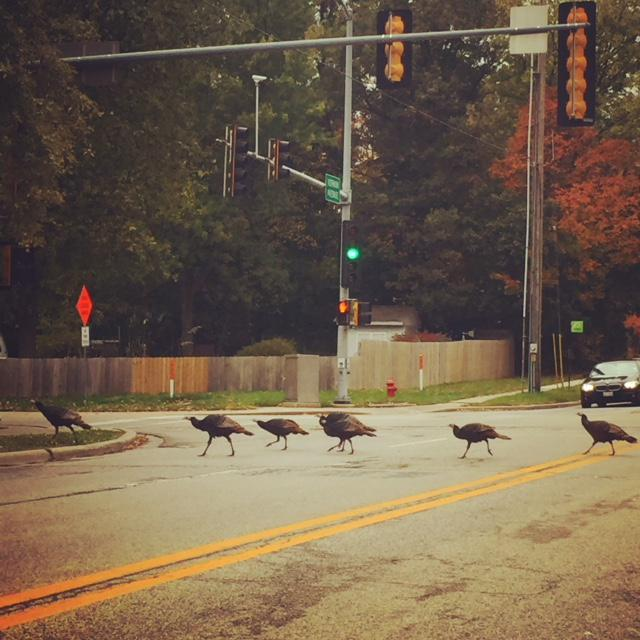 Why did these turkeys cross the road? To get to the other side of  the intersection of Vernon and Linden on Oct. 28.