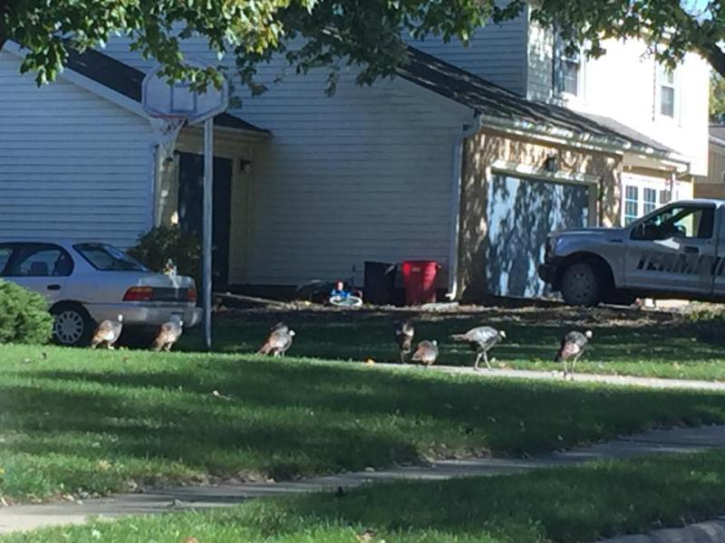 Wild turkeys in a Normal neighborhood earlier this month.