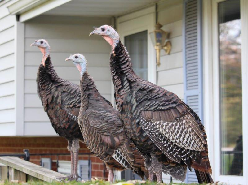 A trio of turkeys soak up the rays on the perch of a porch in the Raab/North Linden area in Normal.