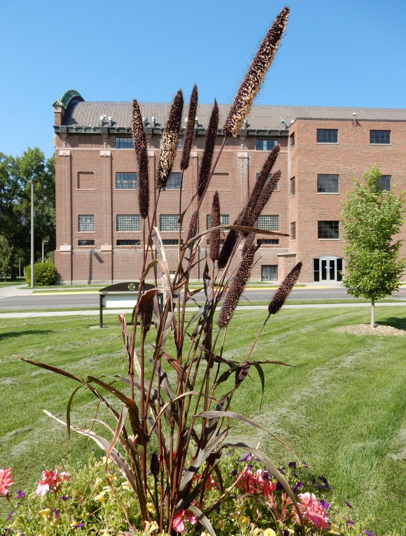 Ornamental millet can be a surprising and attractive new addition to your yard.