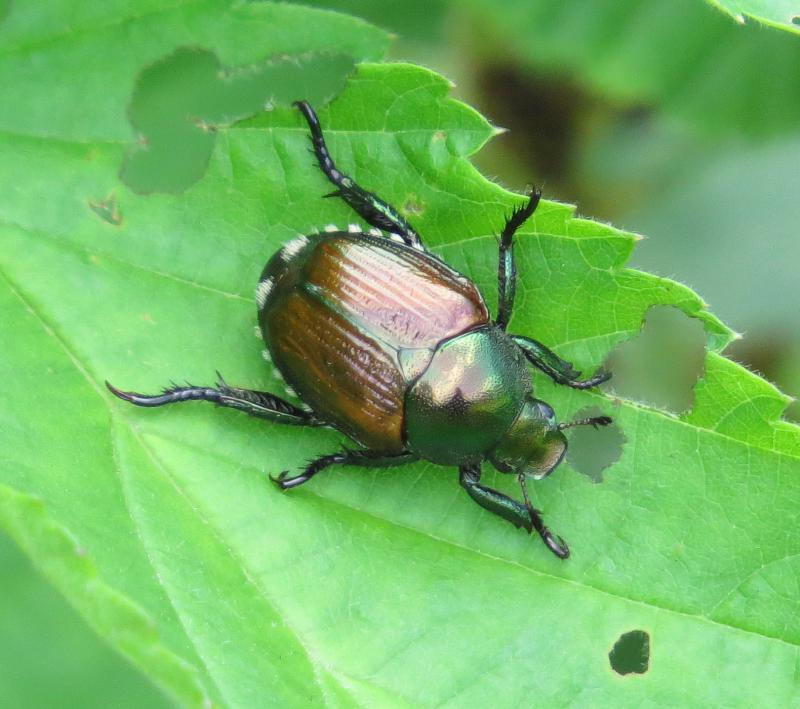 Milky spore can be an effective treatment against Japanese Beetles.