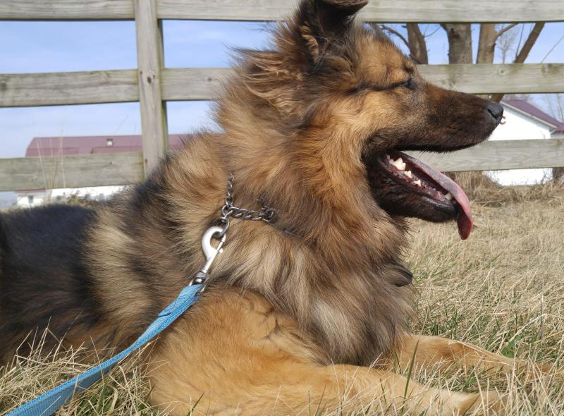 Shaka is one of 48 dogs waiting to be placed by CISAR. She's an adult shepherd mix.