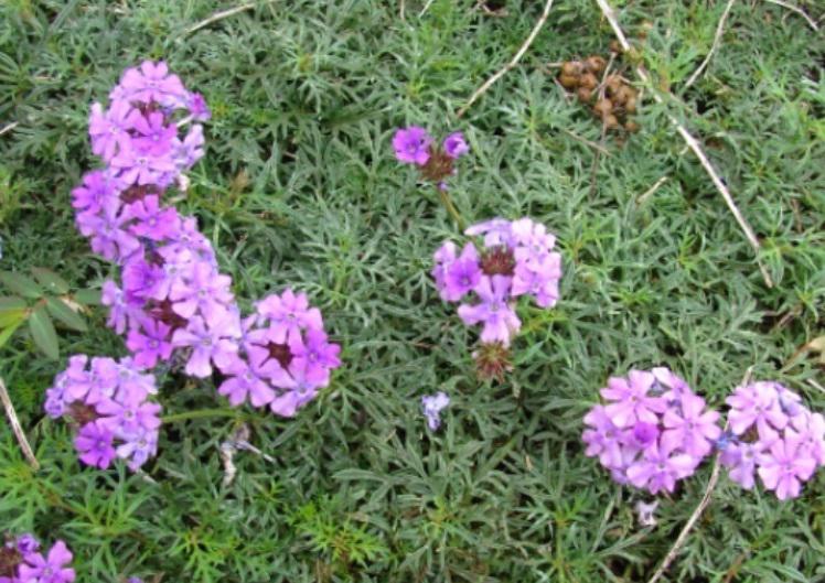 Prairie verbena flowers.