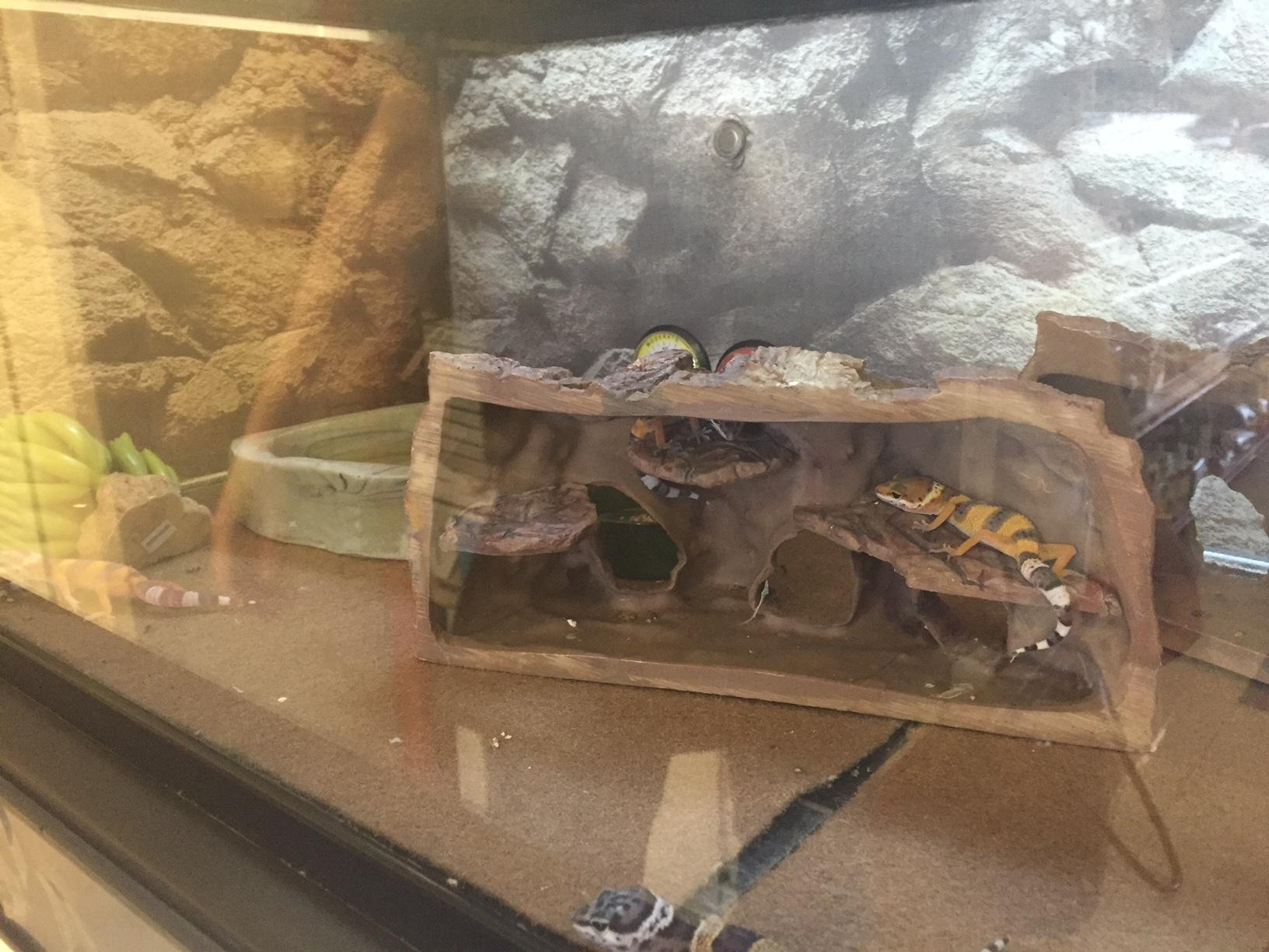 Animal House Leopard Geckos Won T Try To Sell You Insurance Wglt