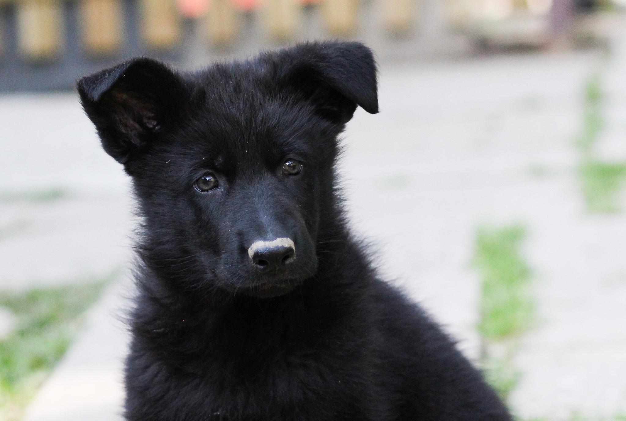 Animal house black dog syndrome