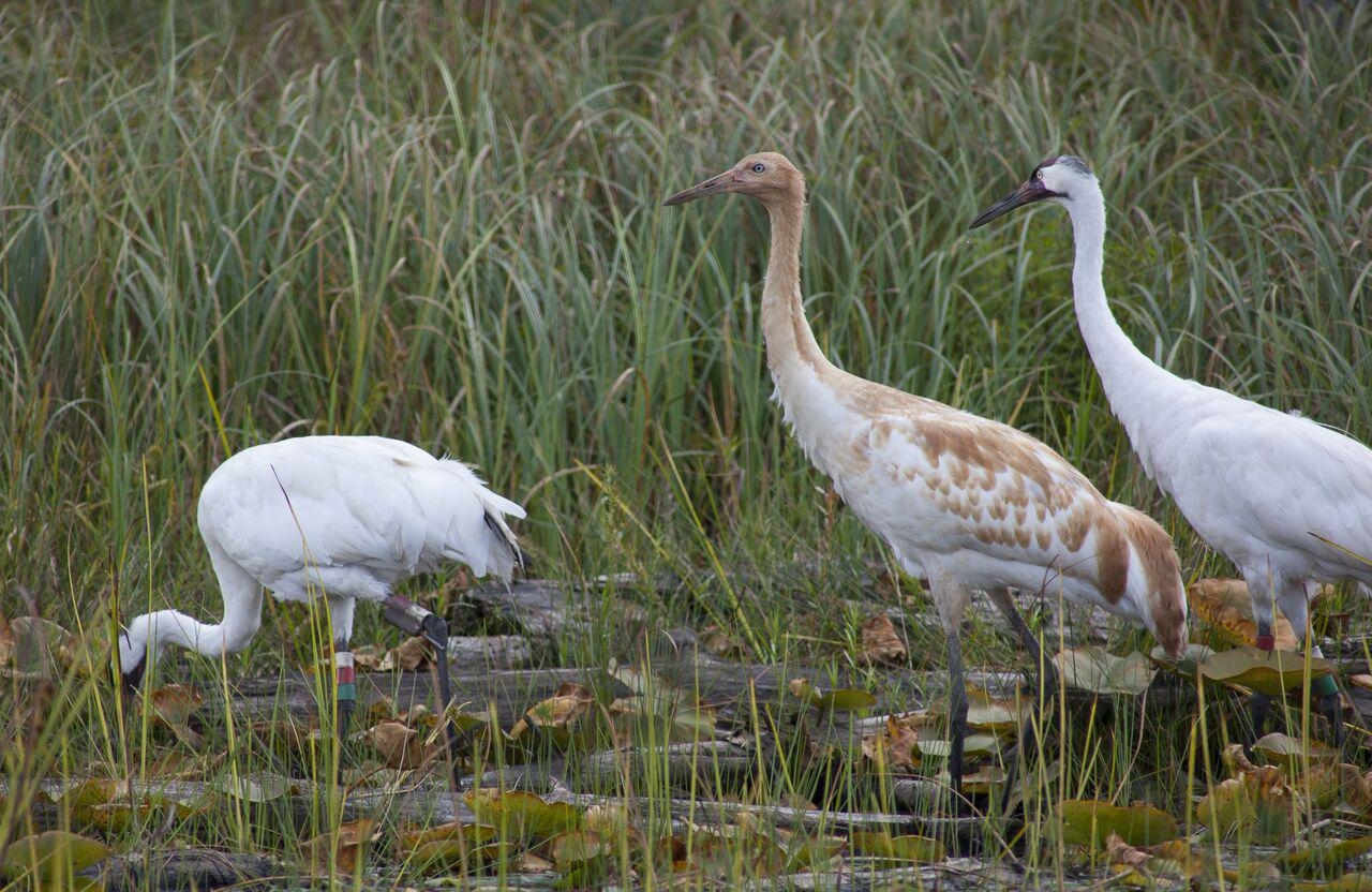 whooping cranes Whooping crane egg scorecard 2018 our whooping cranes are laying eggs and chicks are hatching - breeding season is here.