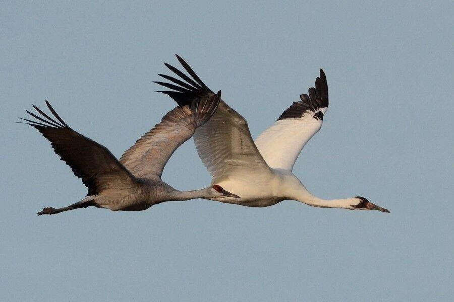 Miracle\' Whooping Cranes Make A Comeback | WGLT