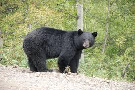 picture of black bear