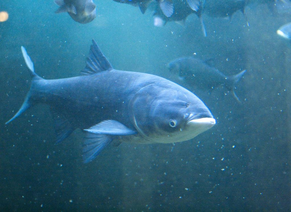 Much Asian carp barrier everything, and