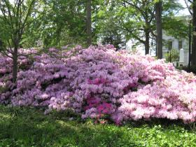 It's Azalea Festival time!